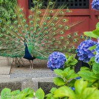 孔雀が遊ぶアジサイの園 ~雨引観音~