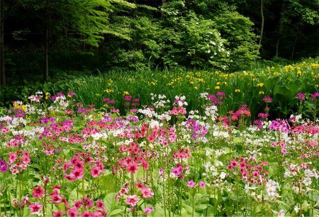 またまた日光へ。前半 霧降高原プチ山歩き <br />http://4travel.jp/travelogue/11258963<br />続きです。<br /><br />午後は、車で植物園に移動です。<br />上三依水生植物園で、クリンソウが見頃、と聞いたので見に行ったのです。<br />そこには、クリンソウだけでなく、ヒマラヤの青いケシ、珍しい高山植物の数々が咲く、私たちには、びっくりうれしいすばらしい植物園でした。<br />全く期待していなかった花々が見られる、かなりマニアックな植物園なのでした。<br />