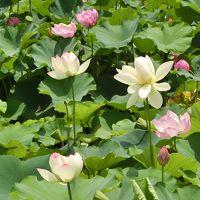 大阪万博記念公園・日本庭園「はす池」をヨタヨタ散歩。(2017)