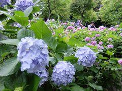 紫陽花を見に鎌倉大仏&長谷寺へ