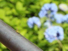あじさいを観に京都へ。【1/2】-- 木津川の流れ橋、善峯寺のあじさいと美しい境内 --