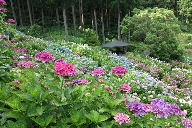 友人と坂東巡礼をしています。<br />この日は、一番行ってみたかった茂原にある笠森寺にお参りに行きました。<br />笠森寺へ行くバスを待っているときにお話をした方に<br />この後は服部農園の紫陽花を見に行くというと自分たちも行ってみたいと<br />おっしゃっていました。<br />茂原駅から服部農園へは約4.5㎞歩くか途中までバスで行って歩くかタクシーで行くことになります。<br />そんな話をした私達ですが、笠森寺から駅まで戻る途中でバスを降ります。<br />同じバスの方たちは不安になったようですが、私たちはランチを予約していたので<br />駅まで戻らずに途中下車したのでした。<br />ランチを楽しんだ後は、途中までバスで行き、あとは歩いて服部農園あじさい屋敷まで行きます。<br />ネットでも話題のあじさい屋敷は本当に紫陽花が見事でした。<br />帰りは良いタイミングで循環バスに乗って茂原駅まで戻ることが出来ました。<br /><br />