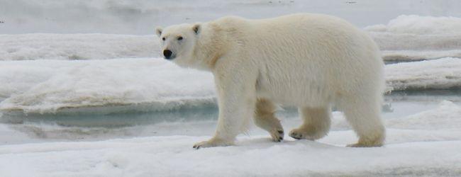 海氷の上を歩くホッキョクグマ: スヴァ...