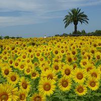 大阪南部をブラブラ・・・ひまわり満開の和泉リサイクル公園へ♪
