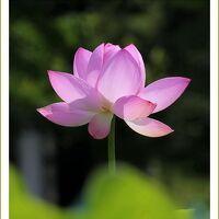 Solitary Journey [1922] 美しい蓮の花、大輪の花を咲かせるためにはものすごく汚い泥水が必要なのですネ。<棲真寺>広島県三原市
