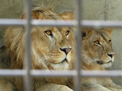 若獅子カップルがカワイイ【桐生が岡動物園②】