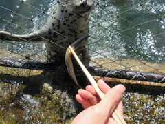 夏は涼しい日本のてっぺんへ。ウニ採り、キュートなゴマアザラシ、ラーメン味楽、どこでも利尻富士の利尻島