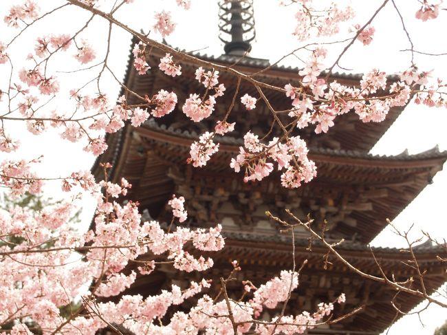 桜の咲く京都に旅してみたくて、でも、あまりに人が多いのも嫌だし、宿泊料も高いしと、ピークを外して4月5日出発。<br /><br />今回は最初から最後まで独り旅です。<br /><br />桜の満開時期からずらしたのに、2017年の春はいつまでたっても暖かくならず、全国的に桜の開花が遅れ、京都の桜は咲き始めたばかり。<br /><br />旅の初日は醍醐と宇治に行ってみました。