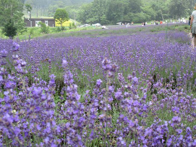 10年前にも訪れた たんばらラベンダーパーク<br />爽やかな高原の風に ラベンダーの香りが いっぱい漂い 紫の霞がかかるような満開のラベンダーは それは綺麗でした<br /><br />そして期待を込めて 再訪!<br />...........................................?<br /><br />途中 偶然見かけた 強清水の滝 は良い!<br />段の多い滝で 美しいですね~<br />♪───O(≧∇≦)O────♪<br />これだけでも 来た甲斐が有ります<br />自然 万歳です<br /><br />迦葉山弥勒寺の天狗の面は<br /> 高尾山薬王院と鞍馬寺と並んで 日本三大天狗に挙げられます<br /><br />大きさもスゴイけど この眼力!<br />ネットで「小学生はいきなり見せると ショックを受けるので 説明してから 見せましょう」<br />と 有りましたが 確かに!<br />私も小学生級でした<br />周りの人達が 有難かったf^_^;)<br /><br />鞍馬寺も拝んだ事があるので あと高尾山...<br />いつか 拝みたいものです( ^ω^ )