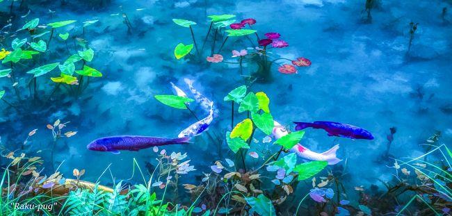 <br /> 白馬八方へ 行く途中 モネの池へ <br /><br /> 朝 7時半 くらいでしたので 5~6人位。<br /><br /> 空いていて 撮りやすかったです!!<br /><br /> モネの池は 初めてですが ネットで 評価<br /><br /> あまり 良く無かったですが 綺麗な 鯉も 多く<br /><br /> 池の 水も  濁っていなく 良かったです!!<br /><br />
