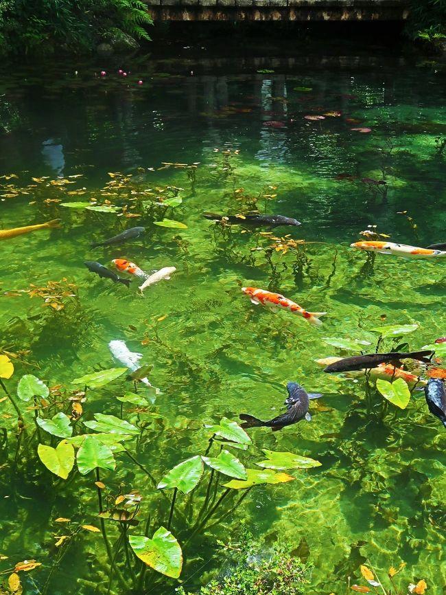 関市板取の根道神社境内にあるこの池は、非常に透明度が高く、スイレンとともに鯉が泳ぐ様は、フランスの画家クロード・モネが描いた「睡蓮」に似ていることから、「モネの池」と呼ばれ、関市の人気スポットとなっています。.<br />(http://sekikanko.jp/modules/content/index.php?lid=174 より引用)<br /><br />名もなき池(通称:モネの池) については・・<br />http://www.kankou-gifu.jp/spot/5094/<br /><br />モネの池は岐阜県関市板取の根道神社参道脇にある貯水池。高賀山の伏流水を利用して1980年頃に灌漑用に整備された。モネの池は通称であり正式な池の名称ではない。地元では根道神社の池もしくは単に池と呼んでいる。<br />1999年、雑草が生い茂っていたが近くで花苗の生産販売をする「フラワーパーク板取」を経営する小林佐富朗が除草を行い、スイレンやコウホネを植えた。また、池で泳ぐコイは地元住民が自宅で飼えなくなって持ち込んだものであり、観光目的で作られた池では無く、偶然が積み重なってクロード・モネの後期の睡蓮連作群と似た池となった。<br /><br />池の大きさはテニスコートよりも少し大きい程度である。また、常に湧き水が流れ込み、湧水池となっている。このため年間水温がおよそ14°Cで一定となっており、冬に咲いた花は枯れにくくコウホネが冬に咲くと、黄色→オレンジ色→赤色と色が変化する。また、日差しの傾き、池の水量によって池の水の色も変化する。池の透明度が高い理由は、高賀山の山体が流紋岩類で構成されており、そこからの湧き水には養分が含まれず、微生物が育たないことが原因である。<br /><br />2015年6月頃、SNSでこの池が話題に上り始め、同年秋頃に新聞・情報番組で取り上げられたことで情報が一気に拡散、観光客が激増する要因になった。 このため、岐阜県および関市では公式ホームページにて「名もなき池」「モネの池(通称)」として観光案内を掲載している。<br />(フリー百科事典『ウィキペディア(Wikipedia)』より引用)<br /><br />岐阜県は、日本の中部地方に位置する県。内陸県の一つで、日本の人口重心中央]に位置し、その地形は変化に富んでいる。県庁所在地は岐阜市。<br />北部の飛騨地方の大部分は、標高3,000m級の飛騨山脈をはじめとする山岳地帯で、平地は高山盆地などわずかしかない。一方、南部の美濃地方は、愛知県の伊勢湾沿岸から続く濃尾平野が広がり、低地面積が広い。特に南西部の木曽三川(木曽川、長良川、揖斐川)合流域とその支流域には、水郷地帯が広がり、海抜0m以下の場所もあるこのような岐阜県の地形の特徴を表して、飛山濃水という言葉で表される。<br />(フリー百科事典『ウィキペディア(Wikipedia)』より引用)<br /><br />ぎふ-旅 については・・<br />http://www.kankou-gifu.jp/<br /><br />『 コバルトブルーの清流と大自然…美しすぎる秘境・絶景&下呂温泉に2連泊』  旅行代金 39,900円 日数 2泊3日 <br /><br />トイレ付きバス&ガイド付きで行く!絶景・秘境好きに贈るオススメ旅<br />初登場!話題の天空の茶畑!まだ見ぬコバルトブルーの清流<br />美しすぎる秘境・絶景&下呂温泉に2連泊<br /><br />1京成津田沼(8:00発)--中津川・大蔵木工所--龍神の滝(美しい癒しの滝・自由散策/60分) --付知峡(コバルトブルーの清流と不動滝・観音滝・仙樽滝/自由散策40分)【15:50-16:30】--舞台峠(買い物20分) --下呂温泉 宿泊 : ブリーズベイホテル&リゾート下呂(泊) <br /><br />2 下呂温泉--根道神社・名もなき池(SNSで話題の美しすぎる池・自由散策/30分) ---道の駅美濃(昼食・買い物) ---徳山ダム・徳山湖(絶景の秘境ダム湖。総貯水容量日本一/見学40分) --天空の里・上ヶ流(岐阜のマチュピチュと称される天空の隠れ里/自由散策60分) --下呂温泉  宿泊 : ブリーズベイホテル&リゾート下呂(泊) <br /><br />3 下呂温泉--東仙峡・金山湖(水鏡のような美しき湖/写真タイム15分) --巌立峡(緑のグランドキャニオンと称される役72m、幅約120mの岸壁と三本滝/自由散策40分) --宇津江四十八滝(苔むす岩と無数の滝のコントラスト。「岐阜県の名水50選」/自由散策60分)--平湯(買い物25分) --京成津田沼(17:30)