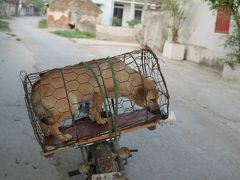 ベトナム北部。衝撃 ドナ ドナ ドナ ドーナ 連れられて行く犬の行方 今晩は鍋?
