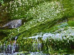 真夏の涼しさを求めて・治左川(福井)と地蔵川(滋賀)との梅花藻