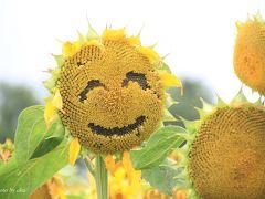 夏のカラフル北海道 (2)黄色に染まる北竜町ひまわり畑VS純白の新成生そば畑