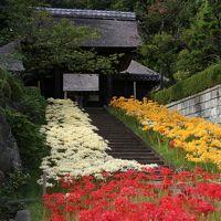 横浜で彼岸花と言えばここでしょう:新羽の西方寺