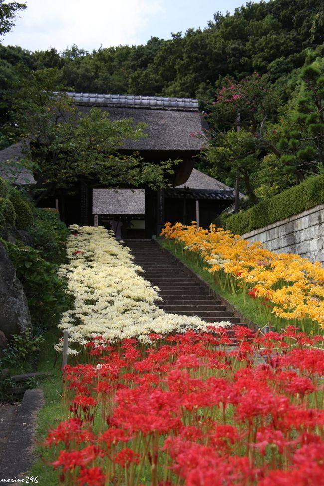 横浜市内で彼岸花を楽しむなら、新羽の西方寺が一押しではないでしょうか。<br />3連休には台風18号が直撃しそうな予報なので、雨が降る前に彼岸花を楽しみに出掛けました。<br />出掛ける前に西方寺のHPを見ると「黄色・白・ピンクの彼岸花はすでに見頃を迎えているが、赤い彼岸花はもう少し先」とのことでしたが、行ってみると赤い彼岸花も見頃となっていました。