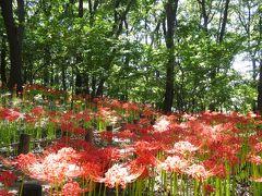 境御嶽山自然の森公園のヒガンバナ_2017_ほぼ4分咲き。花数少ないが綺麗です。(群馬県・伊勢崎市)