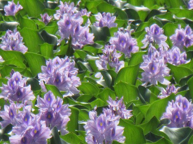 ウォーターヒヤシンス♪<br />水辺の青い絨毯を見てみたい!と行田までお出かけです(^ー^)ノ<br /><br />ホテイアオイの方が一般名なこの花<br />繁殖力が強く 漁業に被害を出したり 枯れる時期の悪臭被害から 「青い悪魔」との異名も持ちますが<br /><br />管理された池などで見せてくれる姿は天使そのもの<br />♪───O(≧∇≦)O────♪<br /><br />観に行って 良かった~<br />アオサギでしょうか?大型の鳥にも出会えたし<br /><br />街角に忽然とSLが現れたり お城があったり<br />行田市 なかなか おもしろい(^◇^)<br /><br />蓮の時期には 来る事が出来なかった 古代蓮の里 にも立ち寄り<br />来年に向け 下見??ですf^_^;)<br /><br />私にとっては ちょっと 遠出な今日のドライブ<br />大満足になりました(o^^o)
