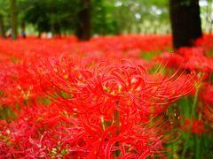 【2017年】曼珠沙華の別名は死人花、美しい花と思い出と