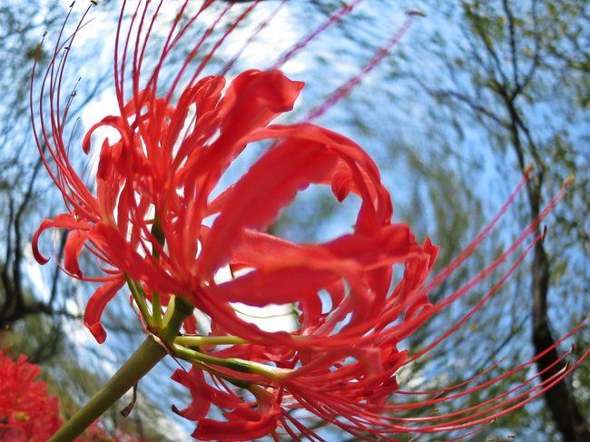 秋を告げる花 曼珠沙華。<br />情熱を思わせる炎を模した緋色の花びらは、夏の忘れ形見。<br />風が流れると花の蕊がゆらゆらと揺れ、その妖しさに磨きをかける。<br /><br /><br />曼珠沙華に埋め尽くされた権現堂桜堤は、深紅の海。<br />桜の木々の間で咲き誇る紅の華は、夏が残した幻燈。<br />曼珠沙華は、秋が始まる前の夏の残り香なのかもしれない。<br />
