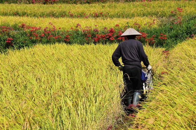 埼玉県最大級の寺坂棚田(てらさかたなだ)に、黄金色の稲穂が実り、真っ赤な彼岸花が畦道に彩りを添えています。<br />今の時期、彼岸花が見頃となり、稲刈りの真っ最中。素晴らしい日本の原風景が見られます。<br /><br />実はこの棚田、農業従業者の高齢化や後継者不足などにより、大部分が耕作放棄地となって荒れ果てていました。<br />しかし、平成13年から地元農家が中心となって、地域資源である棚田を長期保存・活用しようと団体を組織し、都市住民の稲作体験や農地オーナー制度等を始めとした様々な事業を行い、棚田の再生に努め、約4haの水田(約250枚)が復活しました。<br />今では多くの見物客がこの里山を訪れ、日本の原風景を懐かしんでいます。<br /><br />なお、旅行記は横瀬町観光Webサイト「歩楽~里(ぶら~り)よこぜ」を参考にしました。<br />