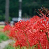 京都亀岡・ひがん花の里で秋の先取り