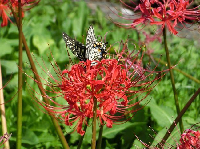 """ガキの頃、「ヒガンバナ」は、田んぼのあぜ道、畑、墓地の周辺等、至るところに咲いていました。<br />そのような身近な花であったため、特別にめずらしい花と思ったことはありませんでした。<br /><br />花に詳しい私の友人から""""万博記念公園で「ヒガンバナ」が満開だ。""""と言う情報がありました。<br />""""「ヒガンバナ」は赤色だけ""""と思っていたのですが、""""白色・黄色の「ヒガンバナ」もあるよ。""""との情報もあり、好奇心が沸き上がってきました。<br />そのような訳で、生まれて初めて「ヒガンバナ」見物に行ってきました。<br /><br />行く前にネットで「ヒガンバナ」をちょっと調べて見ました。<br /><br />【ヒガンバナ(彼岸花)の豆知識】<br /><br />学名:Lycoris radista<br />※Lycoris(リコリス)は、ギリシャ神話の海の女神「Lycoris」の名前から採ったものらしい。花がとても美しいことから・・・。<br />英名:Red spider lily<br />和名:ヒガンバナ(彼岸花)<br />別名:曼殊沙華(まんじゅしゃげ)<br />※""""天上の花""""という意味。<br />""""おめでたい事が起こる兆しに、赤い花が天から降ってくる""""という仏教の経典による、と言われています。<br />異名:死人花(しびとばな)・地獄花(じごくばな)・幽霊花(ゆうれいばな)等々。<br /><br />花に詳しい友人の話によると・・・。<br />「ヒガンバナ」の色と言えば、基本は赤色。<br />白色の「ヒガンバナ」の正式和名は「シロバナマンジュシャゲ」と言う。<br />黄色の「ヒガンバナ」は「ショウキズイセン」と言う。<br />「シロバナマンジュシャゲ」は「ヒガンバナ」と「ショウキズイセン」との自然交雑種とも言われていますが、はっきりとは判っていません。<br />"""
