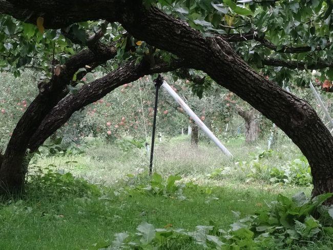 先日 関西から姪っ子が遊びに来たので松川町へリンゴ狩りへ行きました。