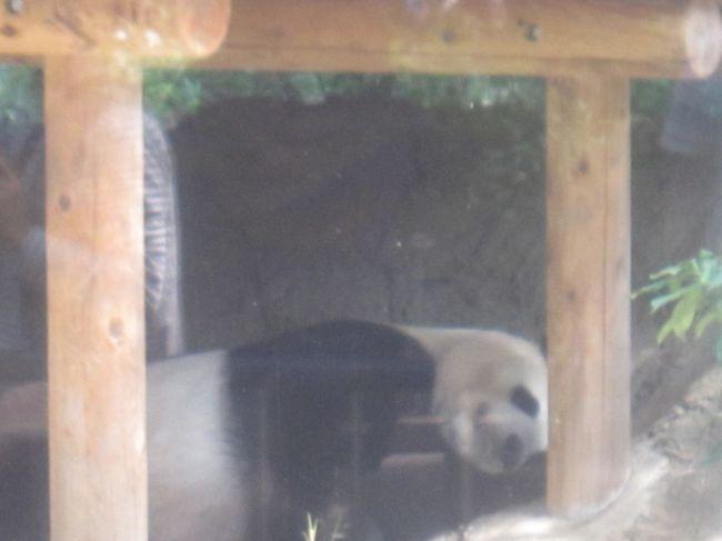 10月1日都民の日。3月20日開園記念日と5月4日みどりの日ともに上野動物園は無料公開されています。<br />今年は偶々日曜日となったので、童心に帰って上野動物園に行ってきました。<br />本日のお散歩16,036歩でした。<br /><br />【表紙の写真】上野動物園のパンダ