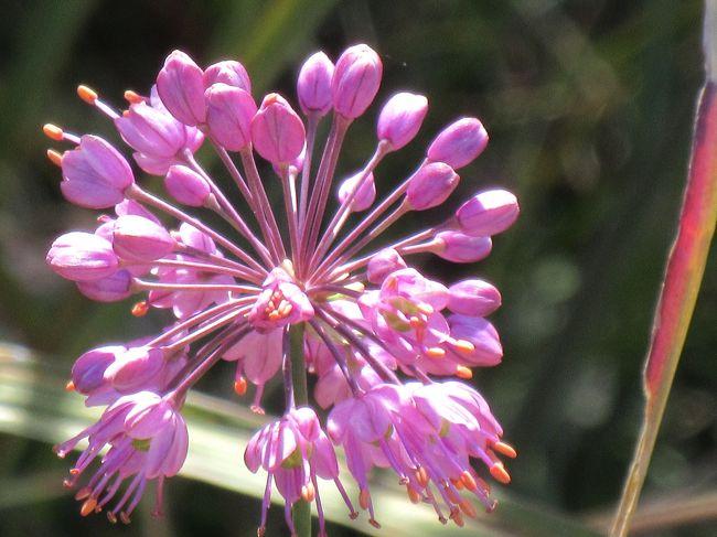 十五夜の今日<br />ススキの穂で白銀の原になった 榛名ゆうすげの道に<br /><br />山辣韮(ヤマラッキョウ)の花を見に行ってきました(^ー^)ノ<br /><br />ラッキョウの野生種 ちょっと エッ(・・;)と言う感じですが<br />キレイな花が咲くんですよ<br /><br /> ♪───O(≧∇≦)O────♪<br /><br />ちなみに 山菜として食せる<br />と ネットは言ってます<br /><br />私は 鑑賞onlyですね~(^◇^)<br />