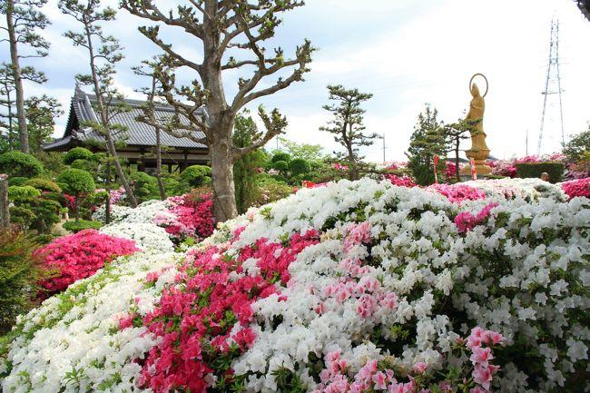 法雲禅寺のつつじ 堺市美原区<br />毎年綺麗に咲いた、たくさんのつつじの花を見せてくれる黄檗宗のお寺です。<br />丁寧に手入れされたツツジは本当にきれいです。