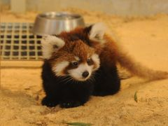レッサーパンダの聖地 西山動物園6月29日に誕生したレッサーパンダの赤ちゃん めいしゃん(梅香)初公開