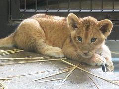 サファリが休みなので桐生が岡の赤ちゃんライオン