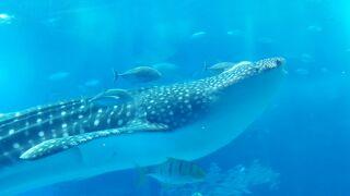 JALマイルで行く親子三代沖縄美味探訪2日目~美ら海水族館・今帰仁・恩納村~
