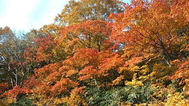 今朝は一転秋晴れ、玉川温泉から焼山(1366m)に登りました。<br />焼山は八幡平より標高が低いおかげか紅葉が真っ盛り。3連休中日の晴天なら当たり前でしょうか、地元のハイカーも(新米の美味しいおむすびご馳走に)<br />一昨日と同様、雄大な展望、今日も岩木山まで。真っ平な八幡平、その右に畚岳とさらに遠くの岩手山が印象的です。<br />焼山は活動中の火山という感じで、青白色の火口湖がきれい。<br /><br />泥だらけの滑りそうな道を、反対側の後生掛温泉経由で大沼に下りました。あまり期待してなかったですが、大沼湖畔の紅葉が(^o^) 赤や黄色、鮮やかで素晴らしかったです。<br /><br />良い一日でした。今夜は田沢湖高原に。初めてのロッジアイリスです。温泉も夕食もgood、はたはたの飯寿司が珍味!<br /><br />翌日は秋田駒ヶ岳を歩いて引き揚げました。午前中は晴れの予報だったのですが、終日曇(&gt;_&lt;)。男岳南側の急斜面と、そこからの大きな田沢湖が印象的でした。