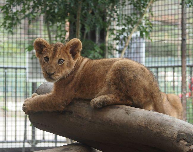 「桐生が岡動物園」は無料で動物が見られます<br />数年前に何度か行った事あったんですが、ライオンは亡くなってしまってて見ることが出来ませんでした。<br />最後に行ったのは2年前ですが、昨年知らぬ間にライオン2頭が桐生が岡動物園にやって来てたようです<br /><br />先日4トラで赤ちゃんライオンが生まれたという情報を知り、しかも3ヶ月も経ってるというではないですか!?<br />こんな身近な所で赤ちゃんライオンが見れるなんて!これは行かないと、という事で早速行って来ました^^<br /><br />おばあちゃんゾウのイズミは今年の4月に亡くなってしまって会えなくなってしまいましたが、その代わりに3頭の可愛いライオンがまた人を楽しませてくれるようになって良かったですね<br /><br />2015年2月にイズミが生きてる時に行った様子はこちらです<br />https://4travel.jp/travelogue/10988350<br />