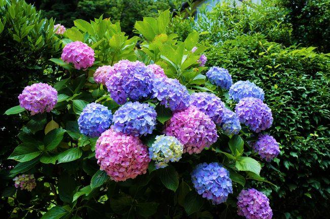 鎌倉、紫陽花のある路地