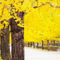 埼玉・秩父ミューズパーク~3キロ続く銀杏並木は黄葉が始まっていました~