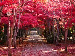 424-圧巻!平岡樹芸センターの紅葉「真っ赤なトンネル」