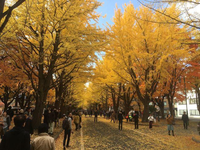 北海道大学のイチョウ並木は、近年ライトアップされています。金葉祭と称してカフェなどが開かれ賑わいます。北海道庁前庭の様子と、小樽で行われたハローウィンイベントの様子をお送りします。
