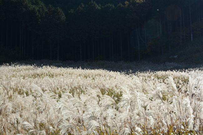箱根仙石原の、すすき草原では、黄金色に輝く草原が広がり、まだまだ見ごろが続いていました。<br /><br />2017年11月3日の様子です。
