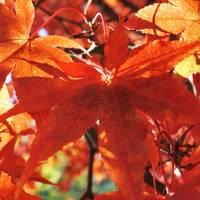 富士ビューホテルの紅葉はまだまだ見頃(11月9日)