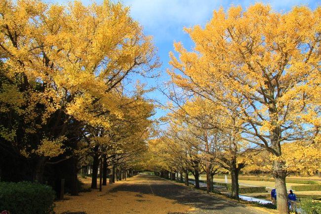 国営昭和記念公園のHPで黄葉紅葉が見頃となっていたので行って来ました。かたらいのイチョウ並木、カナールイチョウ並木などの黄葉、日本庭園の紅葉が見事でした。朝一番で行きましたが、平日ながら写真を撮る方が結構来られていました。イチョウ並木は落葉が進んでいますが、黄金の絨毯の様になっていてとても綺麗でした。<br />表紙はカナールイチョウ並木