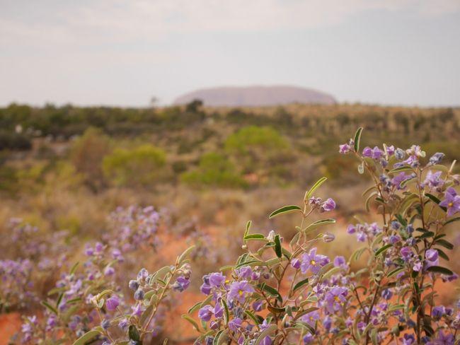 忙しい日々で荒んだ心(笑)を癒すため、<br />今年の休暇はオーストラリアの大自然へ!<br /><br />◇4日目◇<br />今日はシドニーへの移動日。<br />ウルルもついに見納めです!<br />