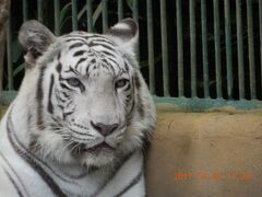 動物園 Ⅱ:ホワイト・タイガー バリ島: 動画有  インドネシア・バリ島