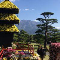 仙巌園で菊まつりがあるので行って見ました
