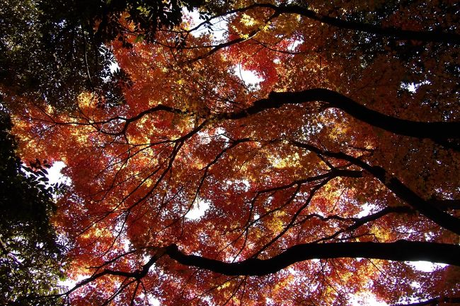 例年なら東京国立博物館本館裏の日本庭園の公開は本格的な紅葉が見られる前に公開期間が終わってしまっていた。今年(2017年)は冬の訪れが早く、晩秋というよりは初冬という気候だ。例年なら完全には紅葉しない池の対岸の楓も今年は綺麗に紅葉している。それでも、紅葉目当てにツアーバスの老(若)男女の乗客が大勢やって来て静寂が破られる。<br /> 今日は春草廬、転合庵、六窓庵の茶室ばかりか応挙館、九条館までを使用してお茶会が開かれている。午後に入園したので、丁度、茶会が終了した時であり、和服の年配ご婦人に混じってスーツ姿の若い女性や和服姿の若い女性がおり、庭園が華やいでいる。中央大学の茶道部が主催している茶会だという。なるほど、女子大生なら若い訳だ。かくして、ほんの僅かの間だけ(老)若男女が集う日本庭園と変わる。<br /> がっかりしてしまったことがある。日本庭園の散策路の所々に「禁煙」の看板があることだ。日本庭園に「禁煙」看板。全く理解し難い光景だ。日本広しといえども、日本庭園に「禁煙」看板が立っているのはここ東博だけだろう。庭園内で喫煙者を見付けたということではなく、閉園後に吸殻が見付かるのだという。入館料を徴収している東博内は無料の上野公園ではないのだから、日本庭園内で喫煙するなどというふとどきな輩などいるなどとは夢にも思っていなかった。しかし、現実にはそうした輩が存在しているのだという。せっかくの晩秋の雰囲気が台無しだ。<br />(表紙写真は赤く染まった紅葉)