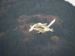 ◆冬の使者飛来・阿武隈川の白鳥便り