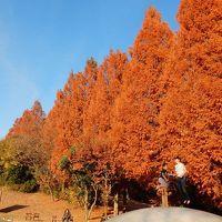 「 初冬の 国営昭和記念公園 メタセコイアの紅葉を追って さんぽ 」 2017
