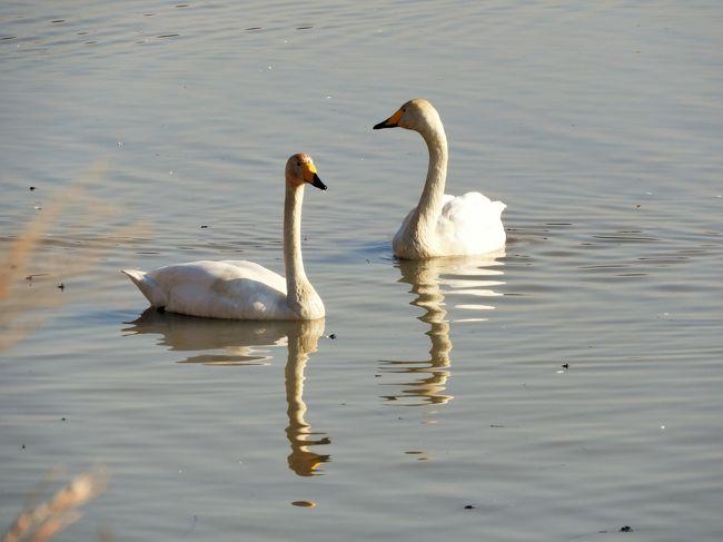 加西市へ車で出かけてふと道路脇のため池を見ると白鳥が羽を休めてるのが見えたくさんのカメラマンがいたので寄り道をしました。加西市は白鳥の飛来地としては本土最南端とかで、他にも市内の数か所で飛来するとか。写真を写していた人に聞くとここは水正池といい飛来地の一つで有名とか。しばらくのんびりと眺めて帰路につきました。